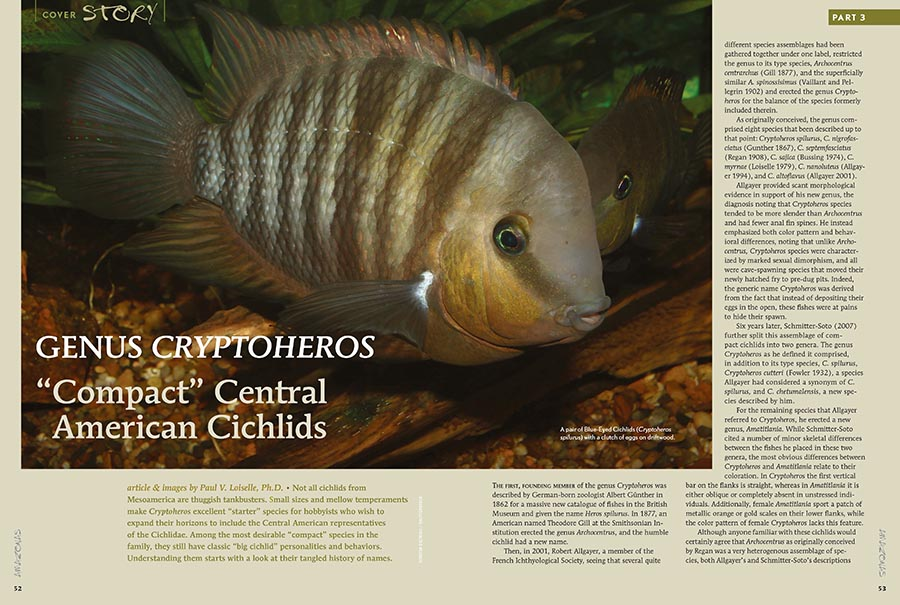 "Paul V. Loiselle, Ph.D. suggests that small sizes and mellow temperaments make Cryptoheros excellent ""starter"" species for hobbyists who wish to expand their horizons to include the Central American representatives of the Cichlidae. Learn more in the newest issue."