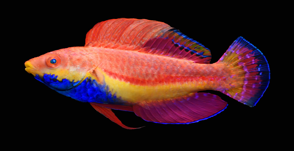 The latest formally-described wrasse; introducing Cirrhilabrus cyanogularis, the Blue Throat Fairy Wrasse. Image credit: Y.K. Tea.