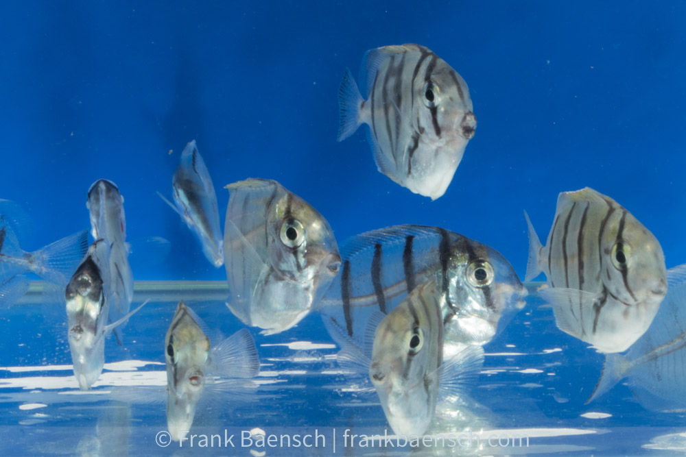 "Raised from wild eggs, these post-larval Convict Tang, Acanthurus triostegus, are undergoing their final transition into juvenile coloration in Frank Baensch's Hawaii Laboratory. Says Baensch, ""larvae undergoing transformation. All have bars, are acting like juveniles and about half have green/brown pigment. So, finally, some color!"" Image Credit: Frank Baensch"