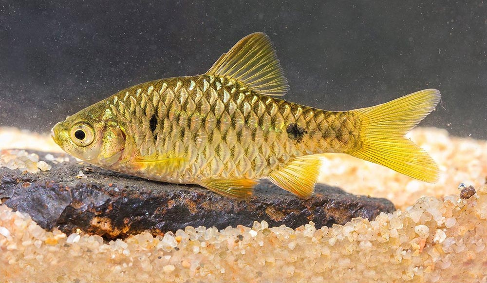 The newly-described golden-hued Prakash Barb, Pethia sahit. Image credit: Katwate et al.