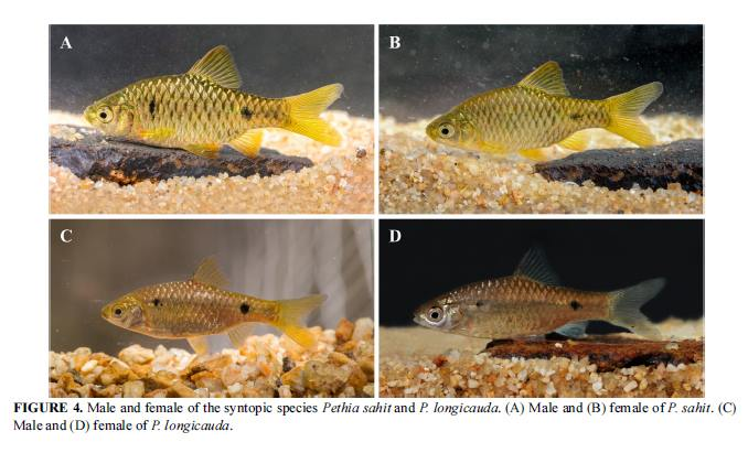 Side by side comparison of the syntopic Barb species, Pethia sahit and P. longicauda. Image credit: Katwate et al.