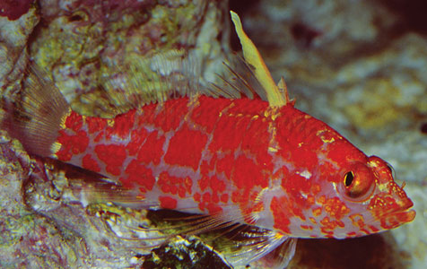Plectranthis inermis, the Geometric Pygmy Hawkfish, is the only species from this genus routinely encountered in the aquarium trade.
