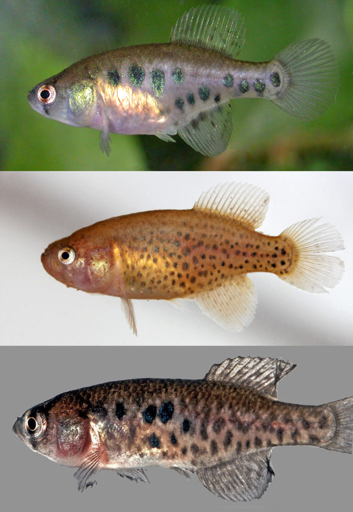 Females of the new species Austrolebias wichi. Image credit: Alonso et. al.