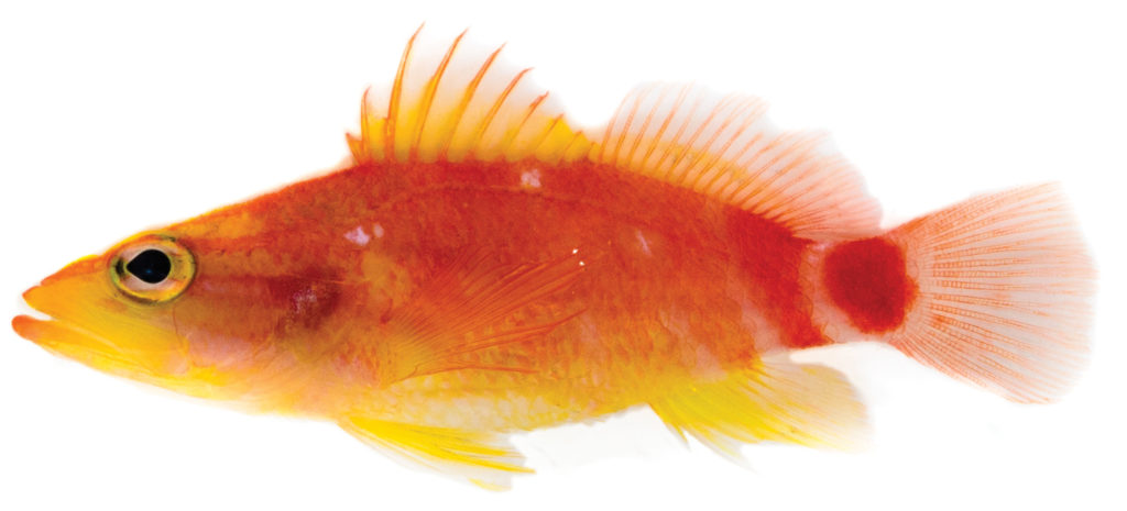 Plectranthias ahiahiata sp. n., holotype shortly after death, 39.95 mm SL. Image Credit: ZooKeys / Dr. Luiz Rocha