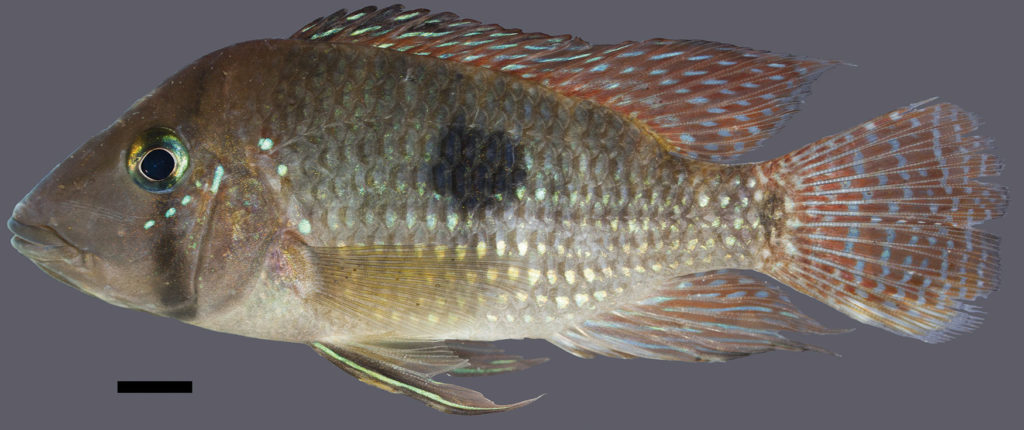 The holotype for Geophagus multiocellus, measures 101.4 mm SL and was collected from teh Rio de Contas Basin in the Bahai state of Brazil. Image Credit: J.L.O. Mattos.