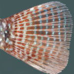 A detailed look at the caudal fin of Geophagus multiocellatus reveals the signature tiny blue dot currently found in no other related species. Image credit: J.L.O. Mattos.
