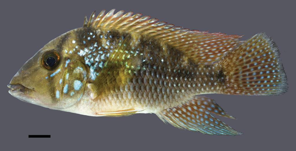 The holotype for Geophagus rufomarginatus measures 96.8 mm SL and was collected from the Buranhém Basin in the Bahia state of Brazil. Image credit: J.L.O. Mattos.