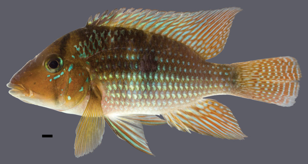 The holotype for Geophagus santosi measures 110.6 mm SL and was collected in the Mariana River in the Bahai state of Brazil. Image credit: J.L.O. Mattos.