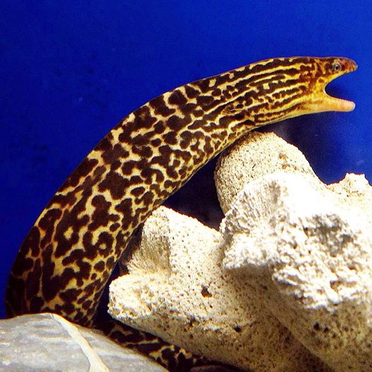 "Something you don't see every day; the Tiger or Spotted ""Freshwater"" Moray Eel, Gymnothorax polyuranodon. Image credit: Goh Yong Teng, CC BY 3.0"