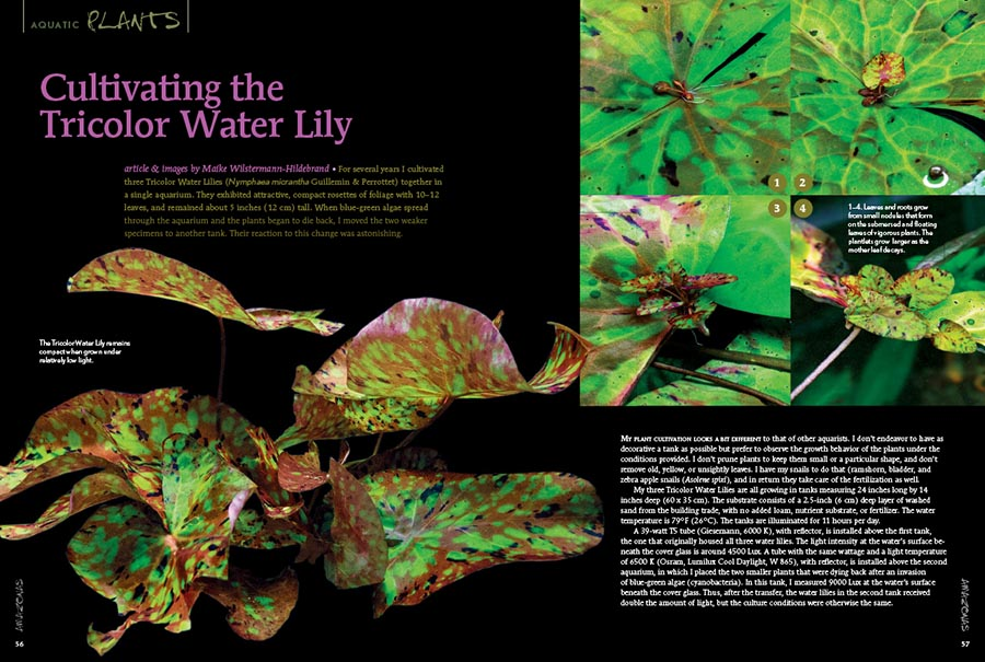 Check out the gorgeous Tricolor Water Lily (Nymphaea micrantha) and learn about its husbandry and unique propagation methods in an article by Maike Wilstermann-Hildebrand, with additional content from AMAZONAS Executive Editor Ann Whitman.