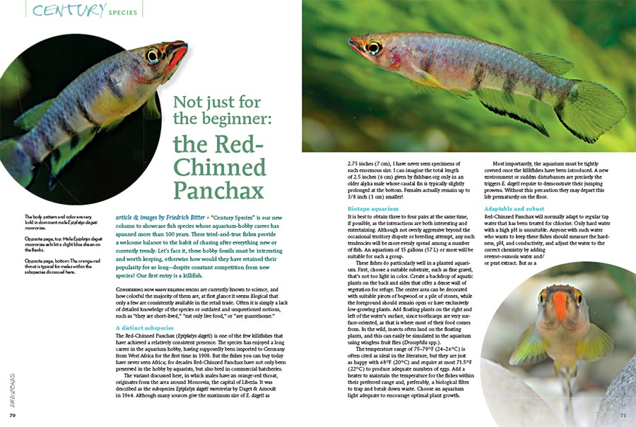 "Introducing the first installment of ""Century Species,"" our new column to showcase fish species whose aquarium-hobby career has spanned more than 100 years and have remained in the hobby despite stiff competition from trendier offerings. Our first entry is a killifish, the Red-Chinned Panchax, Epiplatys dageti monroviae."