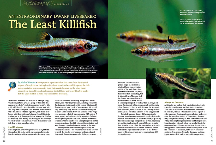 """Heterandria formosa comes from the subtropical southeastern United States and is anything but gaudy—but the Least Killifish is still a very special little livebearer,"" writes Michael Kempkes."