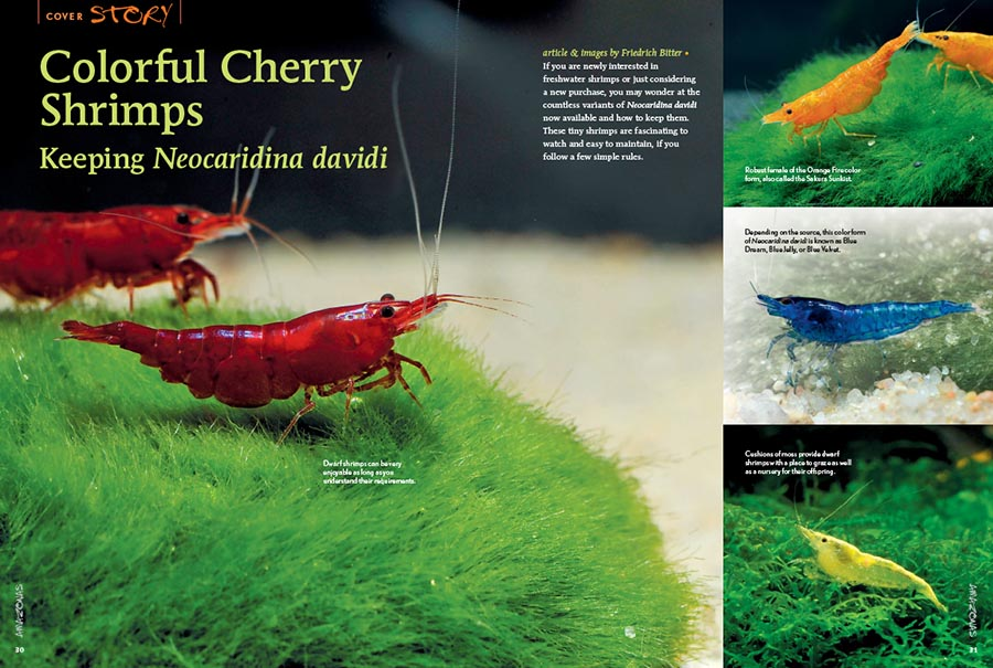 "If you are newly interested in freshwater shrimps or just considering a new purchase, you may wonder at the countless variants of Neocaridina davidi now available and how to keep them. These tiny shrimps are fascinating to watch and easy to maintain, if you follow a few simple rules. Learn more in Friedrich Bitter's article, ""Colorful Cherry Shrimps: Keeping Neocaridina davidi""."