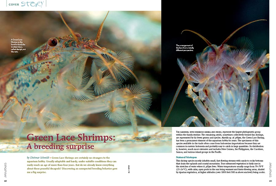 """Green Lace Shrimps: A breeding surprise,"" by Dietmar Schmidt, tells the tale of an unexpected breeding opportunity with these popular aquarium residents."