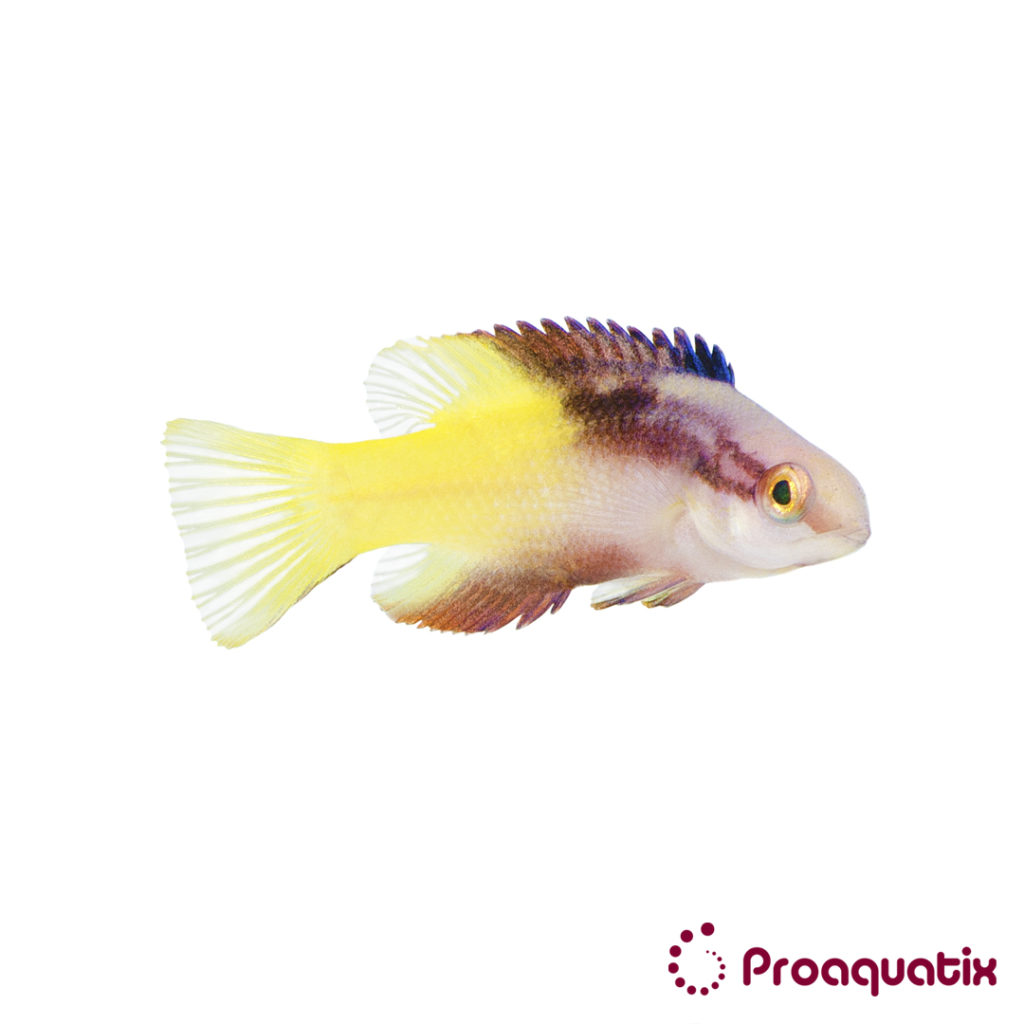 In a partnership with the University of Florida and Rising Tide Conservation, Proaquatix is bringing the first captive-bred Cuban Hogfish to market.