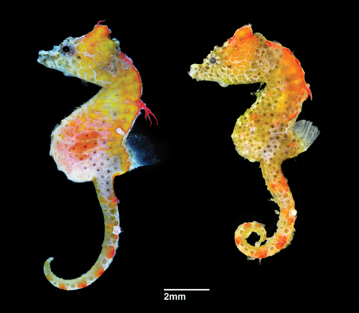 Hippocampus japapigu, paratypes. A 15.59 mm SL Male at left, and 14.54 mm SL female at right. Collected at Hachijo-jima Island, Izu Islands, Japan. Image credit: Hiroyuki Motomura, CC BY 4.0