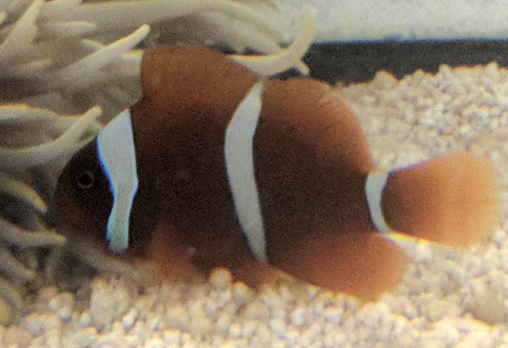 A better look at this unusual clownfish once settled in after import.