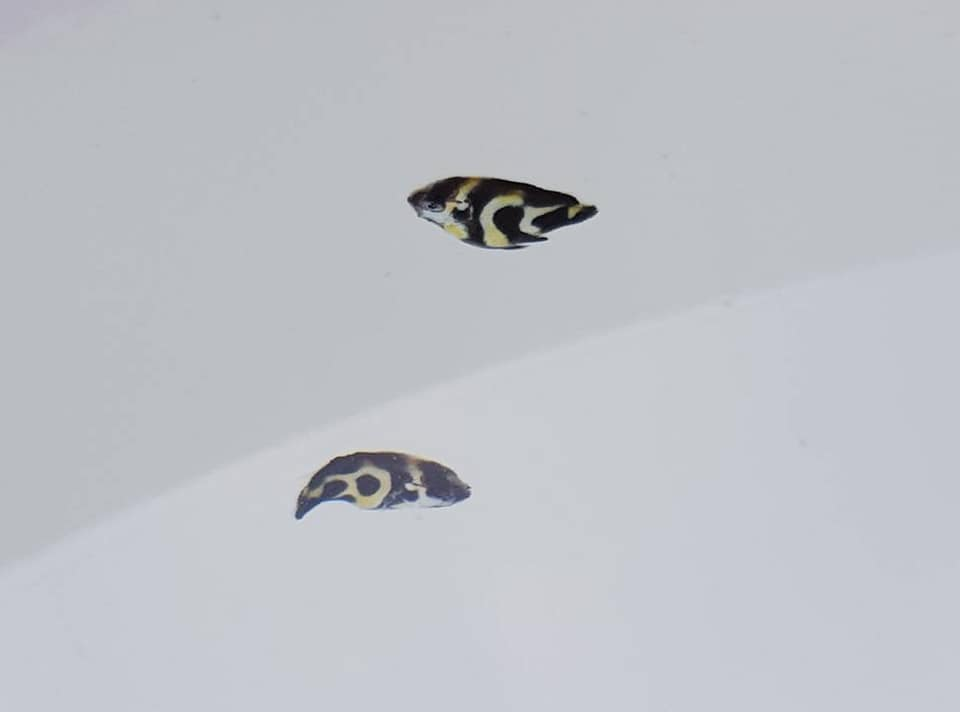 At around 25-days post hatch, these newly-settled Angelfish could have represented a few different possibilities.