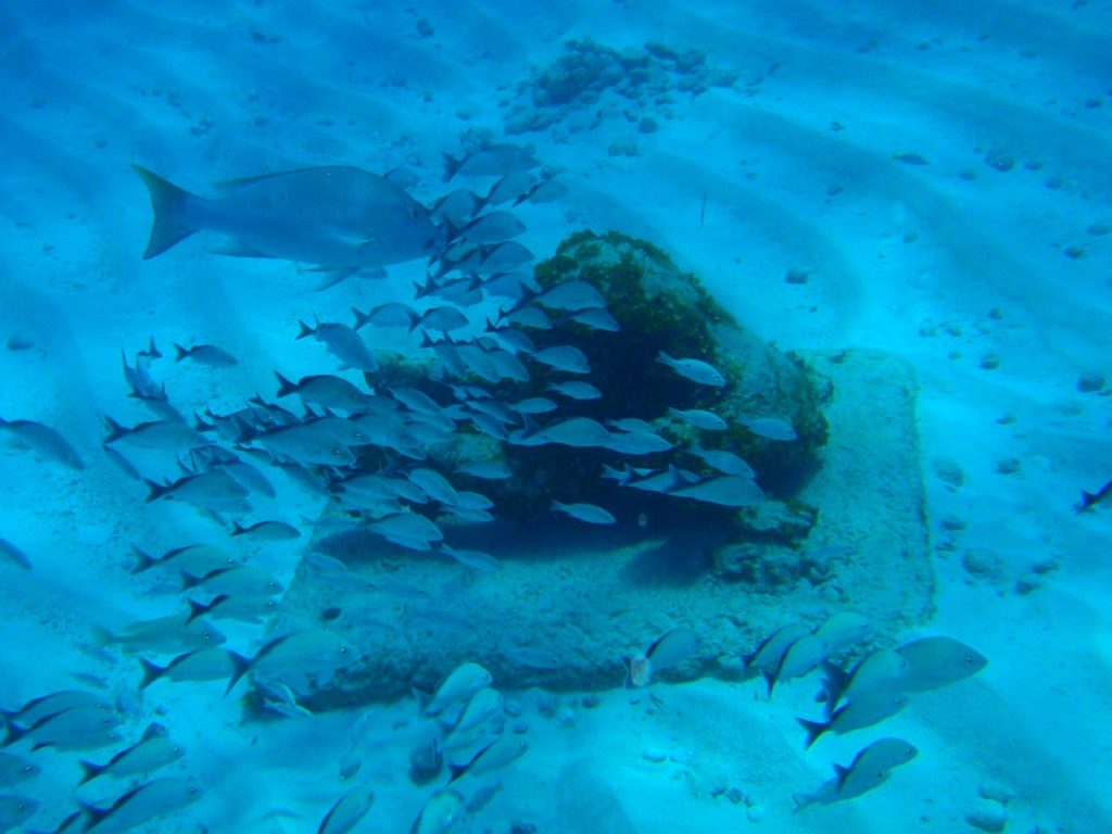 A school of Cottonwick Grunts is captured by Andy Blackledge at Isla Mujeres, Mexico. CC BY 2.0
