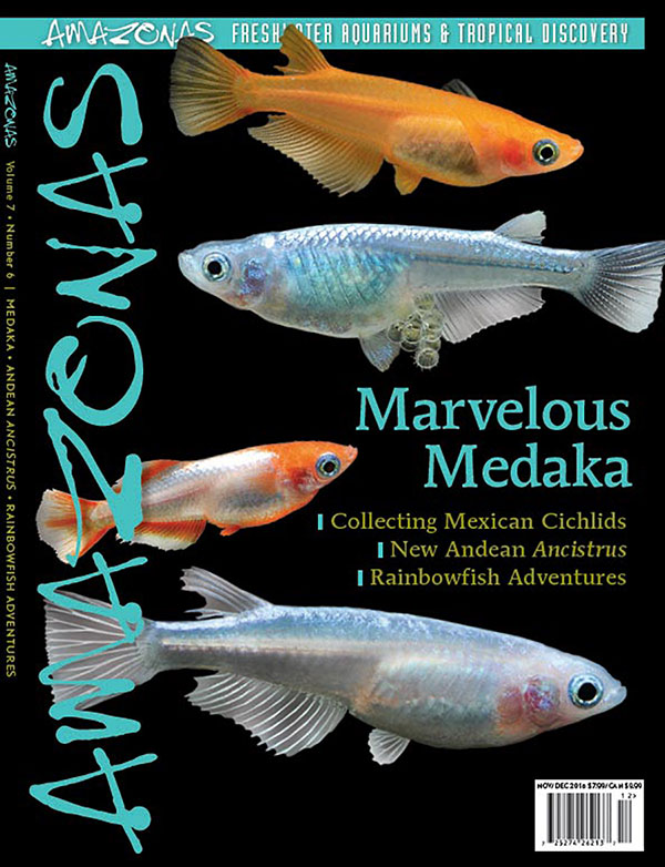 AMAZONAS Magazine, Volume 7, Number 6, MARVELOUS MEDAKA, serves a definitive look into the coming wave of ornamental Japanse Ricefish, poised to be a huge hit worldwide. On the cover: Colorful new varieties of Medaka (Oryzias latipes). Images by F. Bitter