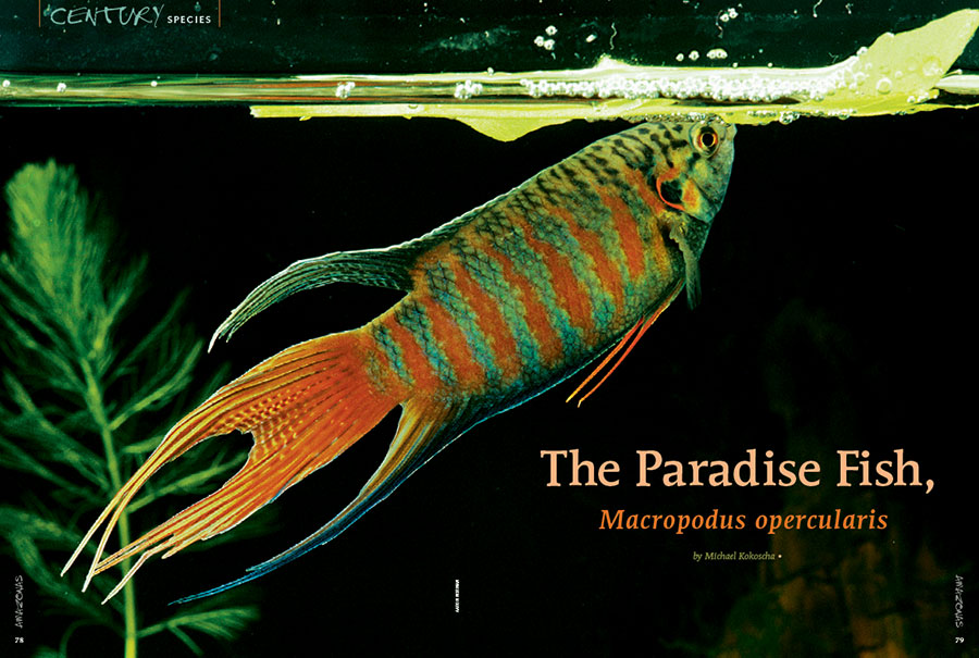 "The Paradise Fish (Macropodus opercularis) is our November/December 2018 feature in the Century Species series. It's resilient to a fault, but its belligerent nature might prevent us from recommending it as a truly ""ideal"" beginner fish, at least not without a bit of fair warning."