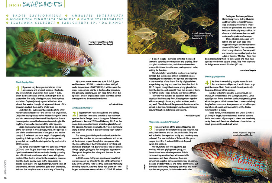 "AMAZONAS Magazine's Species Snapshots bring you the newest, hottest and most arcane freshwater aquarium fish from around the globe. Setting the international benchmark for what's in, this issue's installment includes Badis laspiophilus, Ambassis interrupta, the sleeper goby Mogurnda cingulata ""Mimika"", the Chain Danio (Danio sysphigmatus), the Gulf Coast Pygmy Sunfish (Elassoma gilberti), and an interesting relative of the White Cloud Mountain Minnow, Tanichthys sp. ""Da Nang"". Get all the details exclusively in the newest issue of AMAZONAS Magazine."