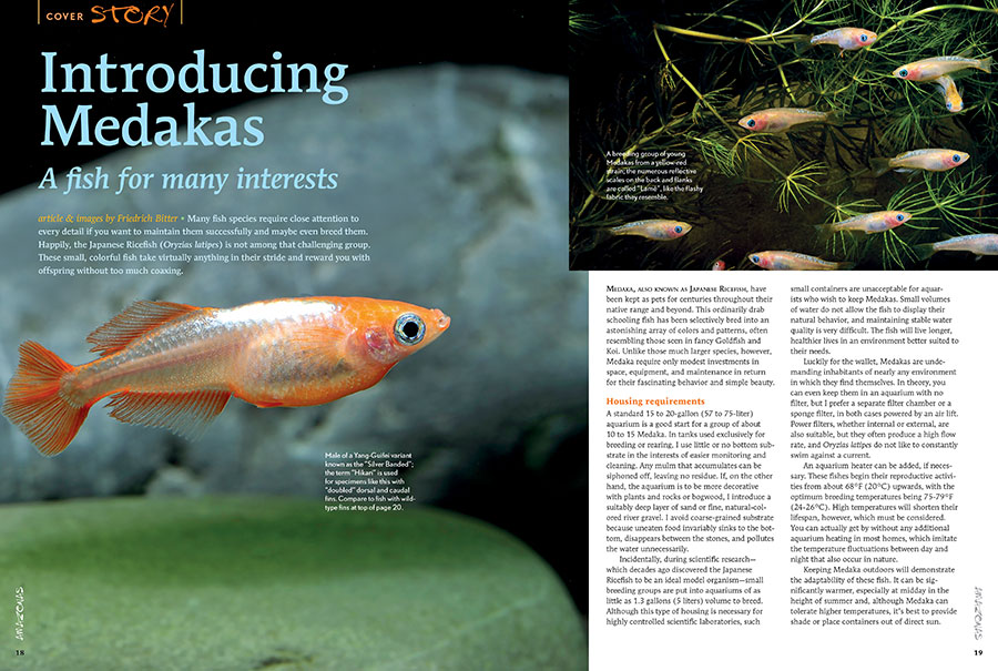 "The Japanese Ricefish (Oryzias latipes) is not among the challenging aquarium fishes. These small, colorful fish take virtually anything in their stride and reward you with offspring without too much coaxing. Interested? Read ""Introducing Medakas, A fish for many interests"", by Friedrich Bitter."