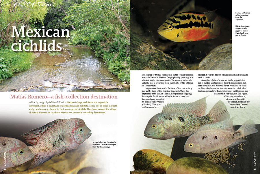 """Mexico is large and, from the aquarist's viewpoint, offers a multitude of destinations and habitats. Every one of them is worth a trip, and many are home to their own special cichlids. The rivers around the village of Matías Romero in southern Mexico are one such rewarding destination."" Join Michael Pilack as he transports you to the southwestern Mexican state of Oaxaca in search of unique Central American Cichlids."