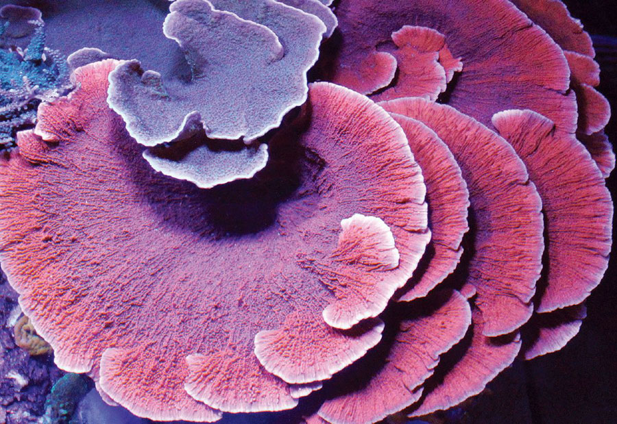 Large red M. foliosa colony under a smaller purple M. capricornis. Image credit: Jason Langer