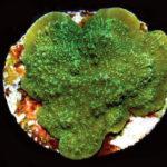 ORA Green M. capricornis
