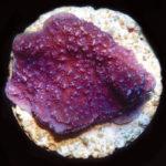 ORA Purple M. capricornis
