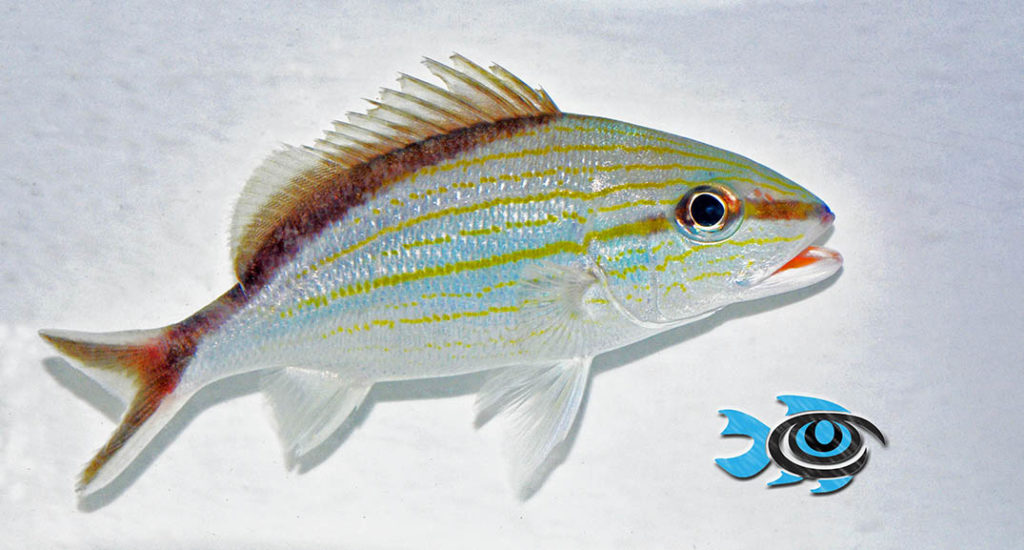The Cottonwick Grunt, Haemulon melanurum, is one of the newest fish species captive-bred by FishEye Aquacutlure.