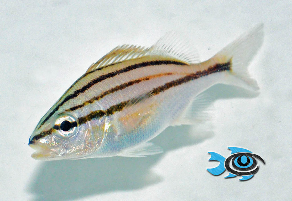This is an example of a juvenile Cottonwick Grunt which has yet to transition to adult coloration. This is how the fish will appear when first offered for sale.