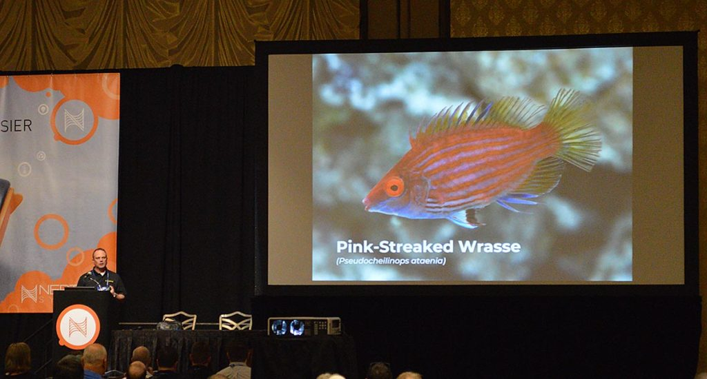 The Pink-streaked Wrasse, Pseudocheilinops ataenia, is Kevin Kohen's pick for an affordable pygmy wrasse, better-mannered than the common Sixline Wrasse.