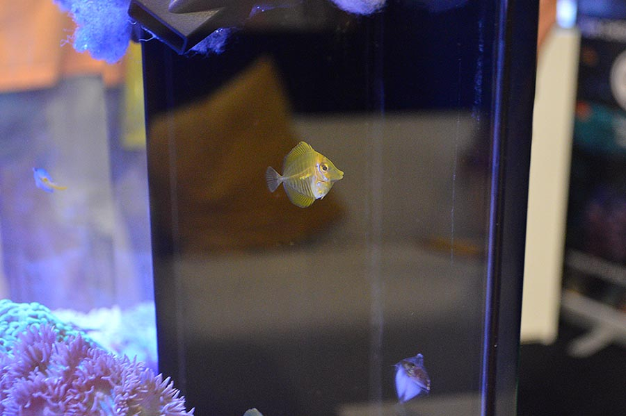 This photo gives a sense of scale for a newly-settled captive-bred Yellow Tang.
