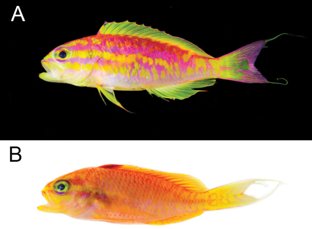 Tosanoides aphrodite, male above (A), female below (B). Photographs by Luiz. A. Rocha - CC BY 4.0