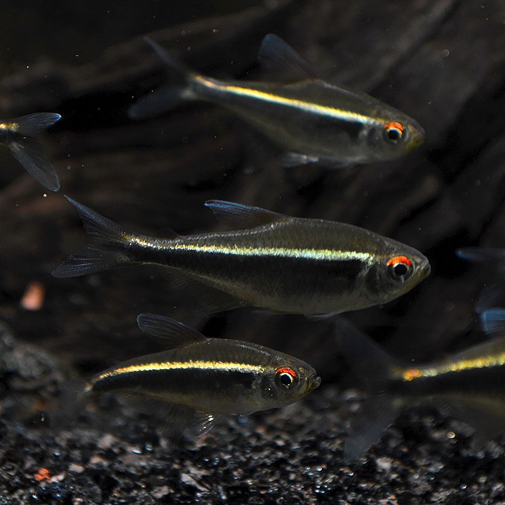 Black Neon Tetras, Hyphessobrycon herbertaxelrodi, are just one example of the many peaceful, shoaling Tetra species that perform well even in the hands of inexperienced aquarium keepers. Image credit: Matt Pedersen