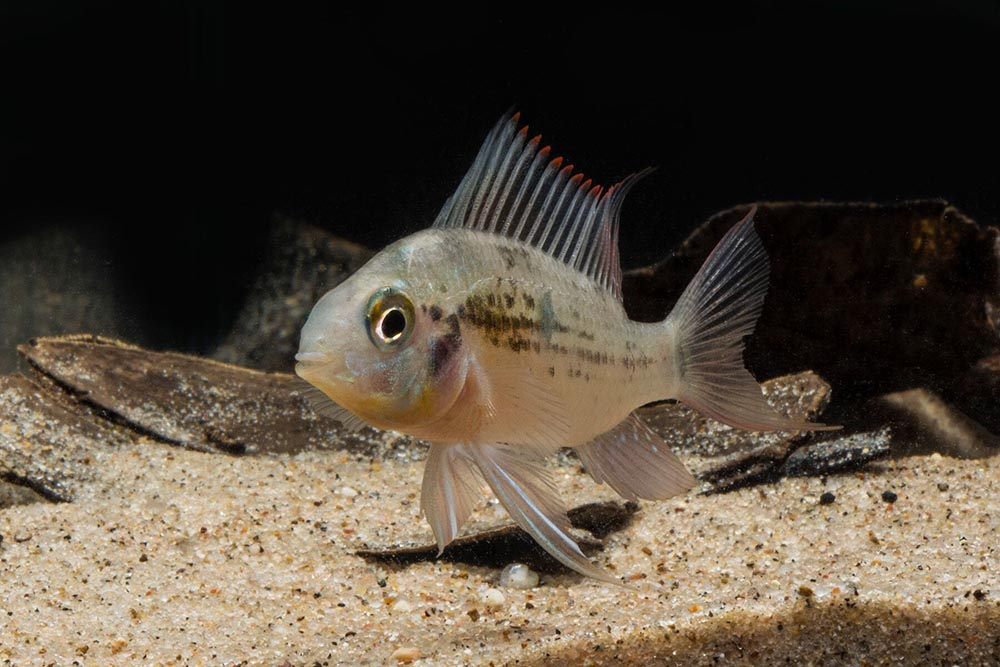 The Bolivian Ram, Mikrogeophagus altispinosus, one of only two cichlids recommended to beginners by the AMAZONAS editorial staff. Many cichlids are universally aggressive or become so when breeding, while others can be very sensitive and require specialized care. Image credit: Mike Tuccinardi.