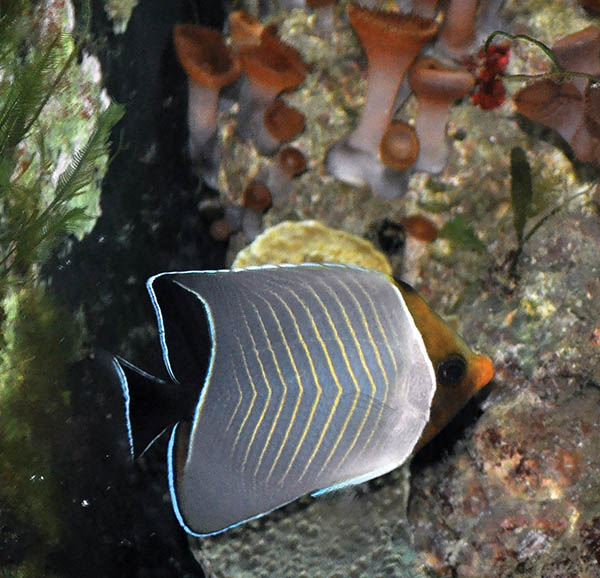 A Hooded Butterflyfish, Chaetodon larvatus, received in 2010, which fed on frozen Mysis shrimp.