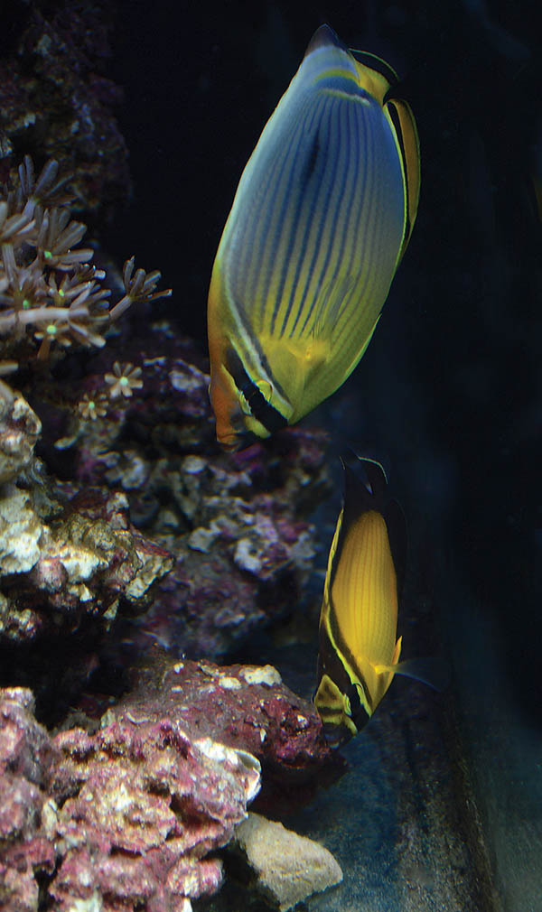 The author's Melon and Arabian Butterflyfishes, two living proofs of concept.