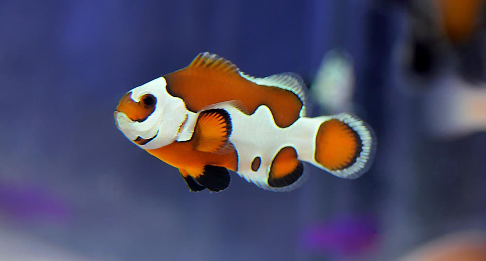 A real-life Orange Storm Clownfish, the result of a greater understanding of clownfish genetics and how they can be manipulated.