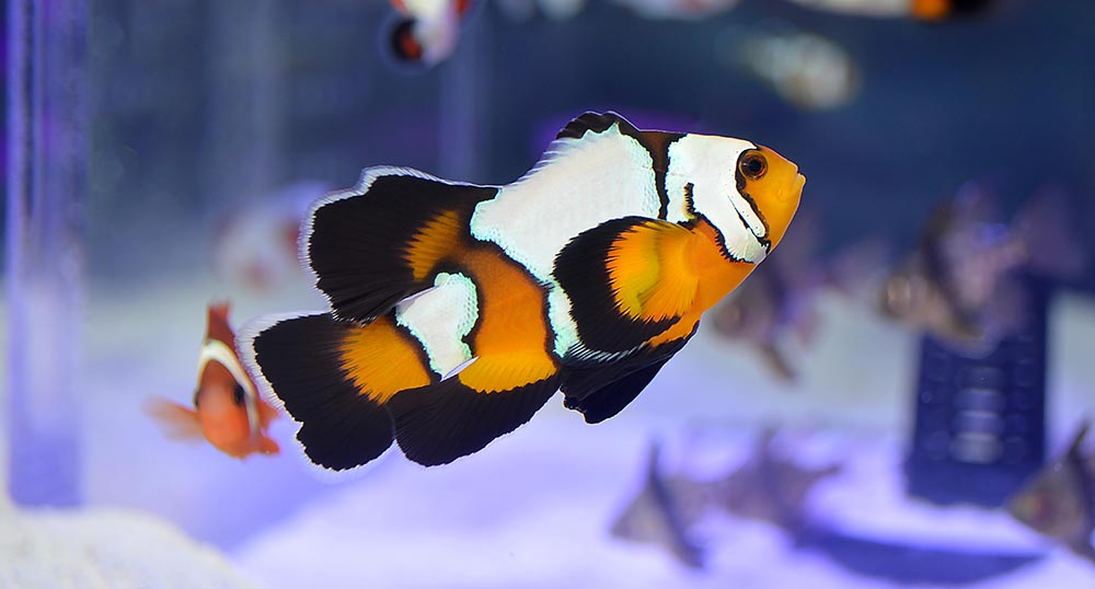 Sea & Reef's new Longfin Black Ice Clownfish is slated to be released soon.