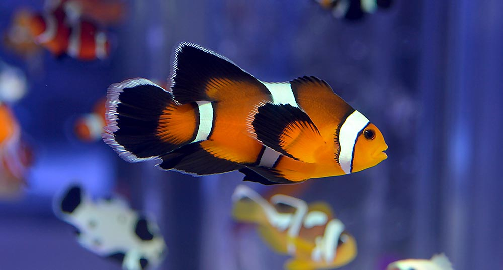 The Longfin Mocha Clownfish from Sea & Reef; effectively the same as the Longfin Black Ice, just without the Snowflake gene to change the appearance of the stripes.
