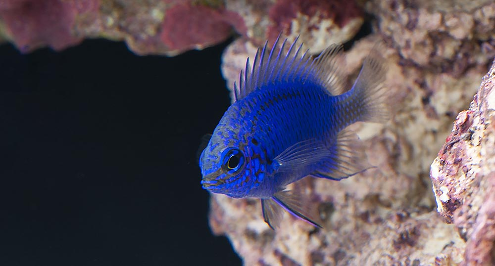 The ORA captive-bred Springer's Damselfish, Chrysiptera springeri. Image copyright LiveAquaria.