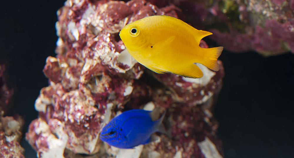 ORA has brought two popular and peaceful Damselfish species into captive propagation in 2018. Image copyright LiveAquaria.