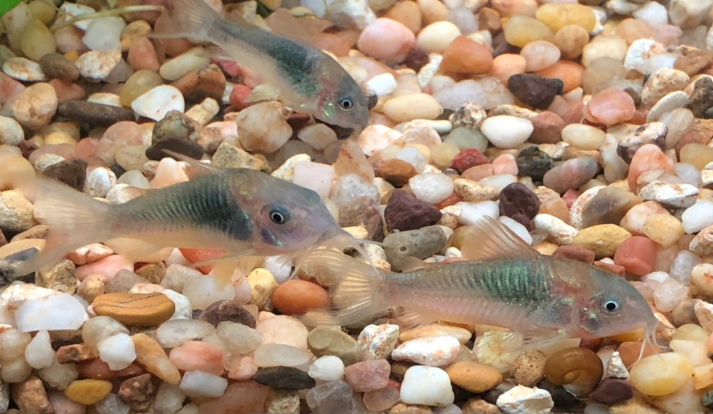Corydoras aeneus, the Bronze Cory Cat, a perennial favorite of beginners and veterans alike. Image credit: Ann Whitman