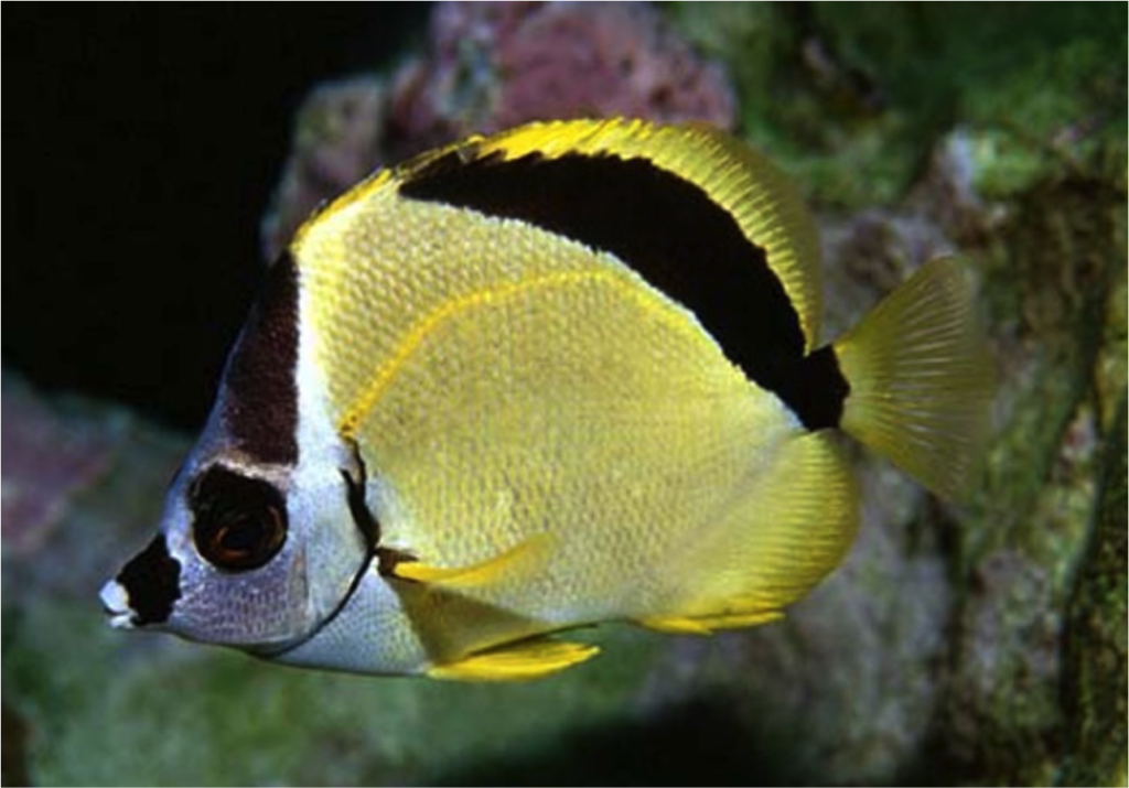 Dr. Randall is even the namesake to an entire genus: The Blacknosed Butterflyfish, also known as the Barberfish, Johnrandallia nigrirostris. Image credit: Gerald Allen