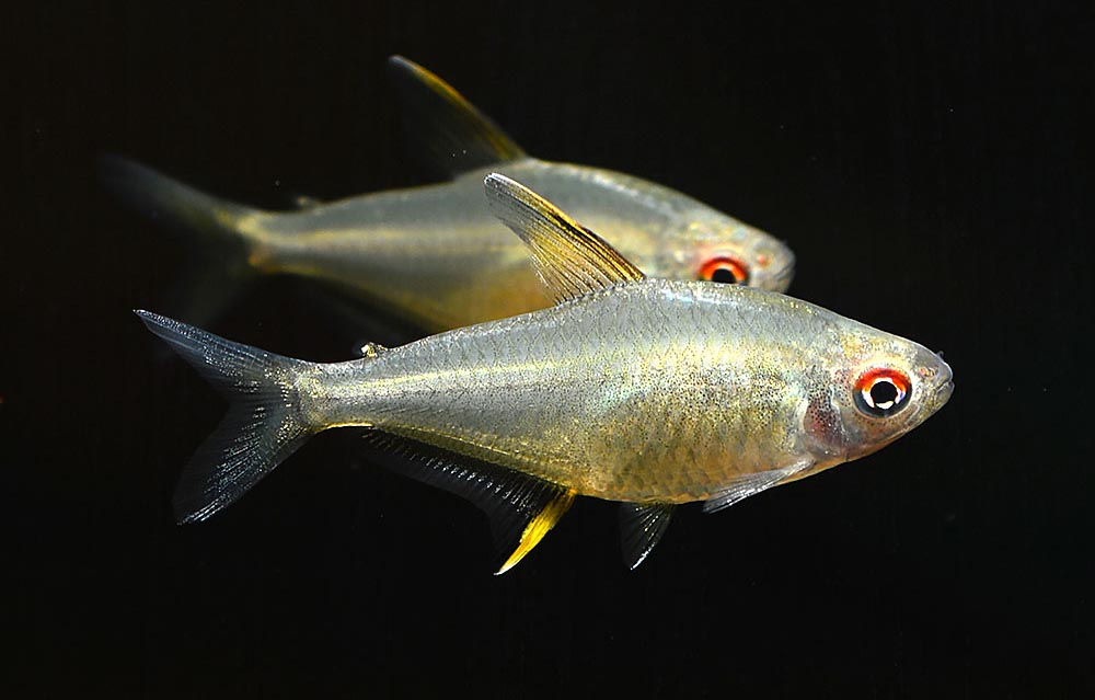 If the gaudy colors of a domesticated fish like the Platy don't suit your tastes, the natural beautify of a peaceful fish like this Lemon Tetra, Hyphessobrycon pulchripinnis, may be more to your liking. Image credit: Matt Pedersen