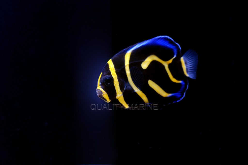 Captive-bred Cortez Angelfish, Pomacanthus zonipectus, have landed in the US and are available now through marine aquarium fish wholesaler Quality Marine in Los Angeles, CA.