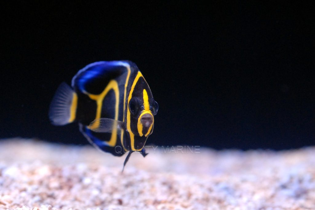 In time, this juvenile captive-bred Cortez Angelfish will grow to require an aquarium of at least 200 gallons in size, so plan accordingly.